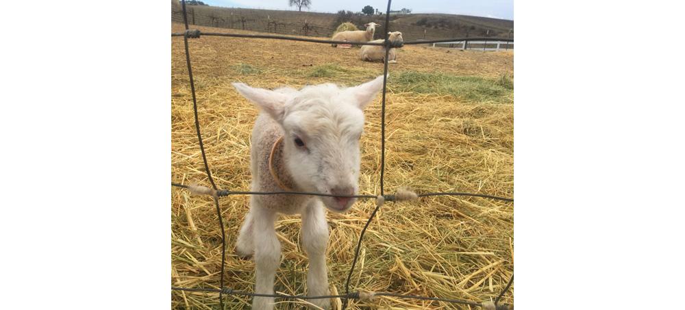 baby sheep 1